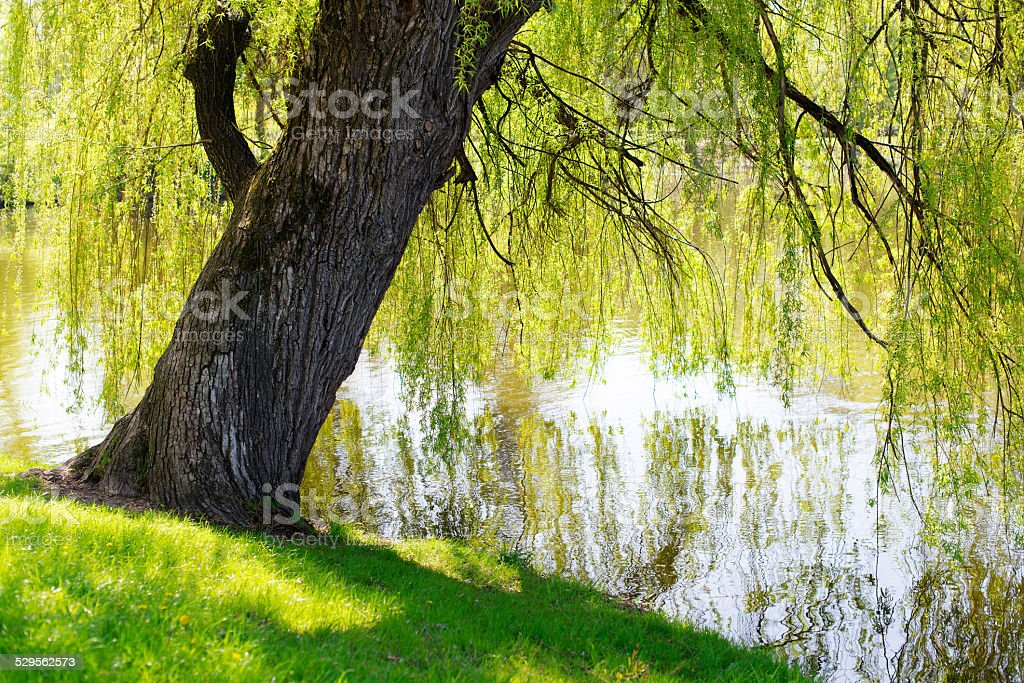 Willow royalty-free stock photo