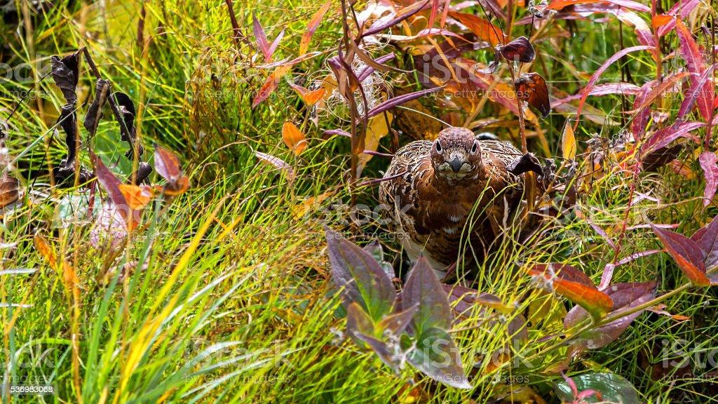 Willow ptarmigan hiding in Autumn foliage stock photo