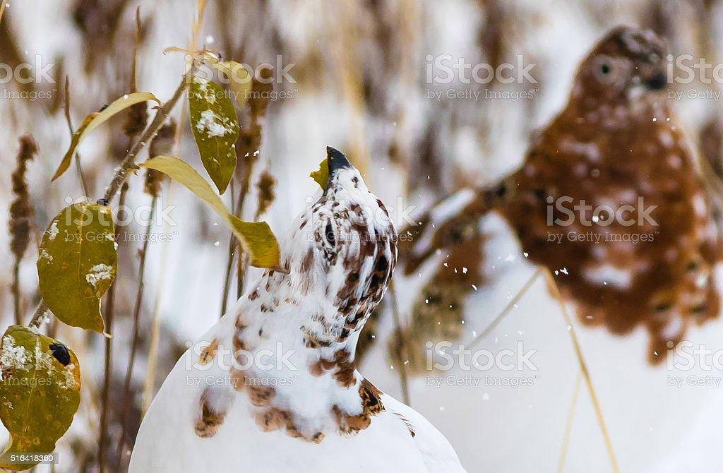 Willow ptarmigan in Denali National Park stock photo