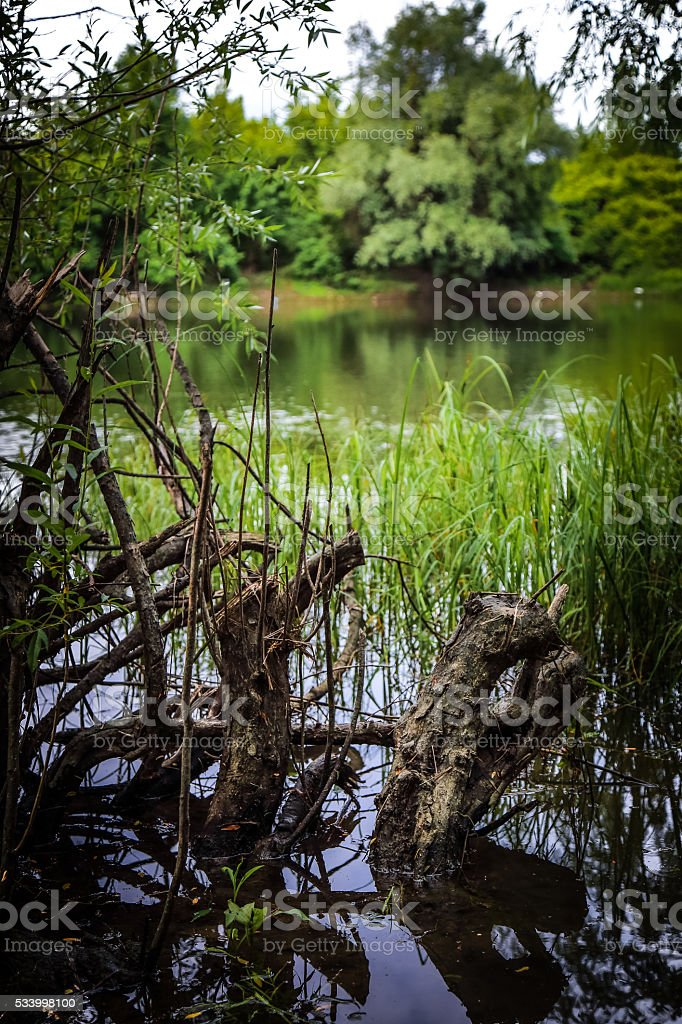 Willow roots in shallows of river Danube. stock photo
