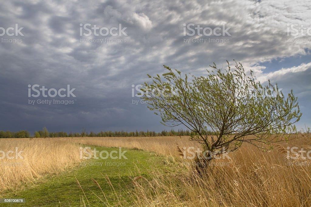 Willow tree april stock photo