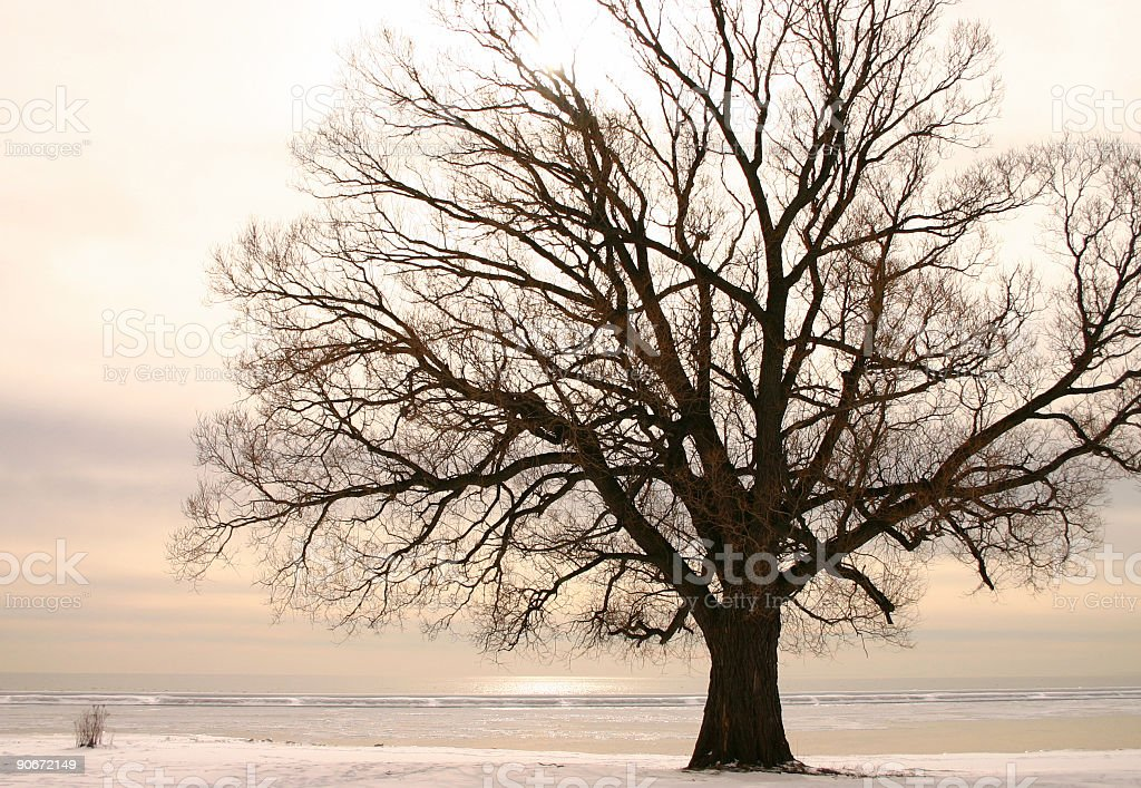 Willow tree during Winter royalty-free stock photo