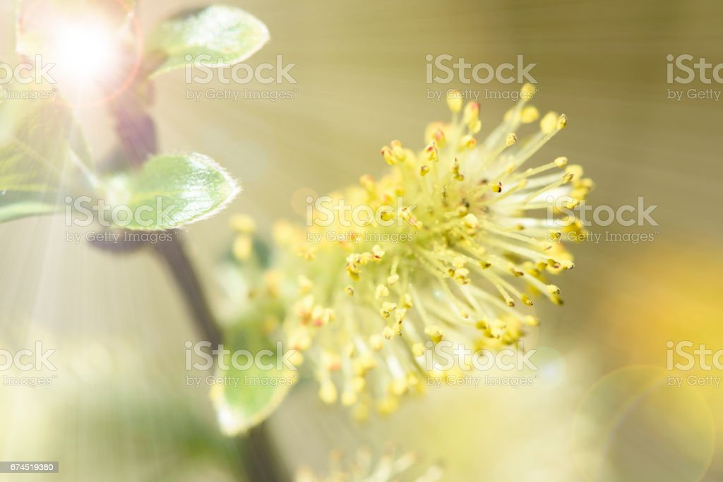 willow tree in bloom with sunbeams stock photo