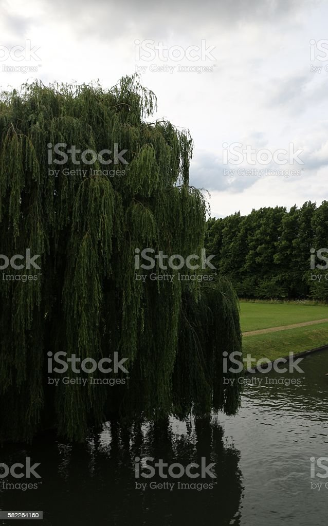 Willow Tree in Cambridge River stock photo