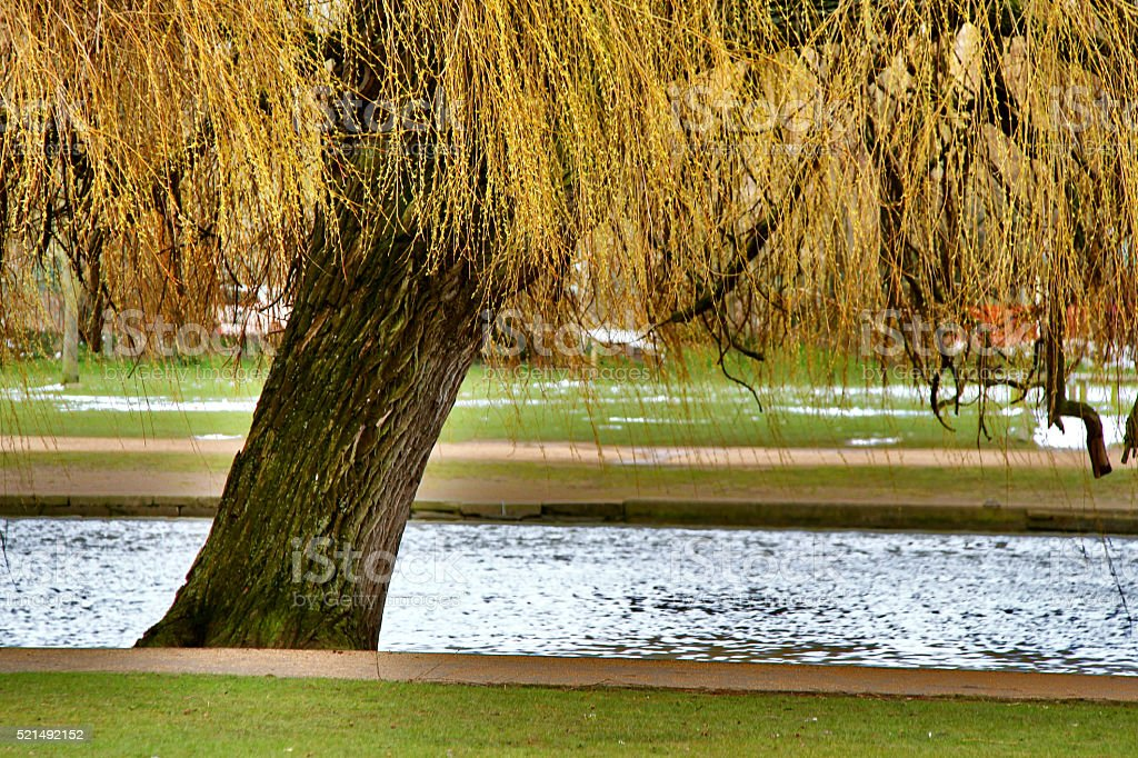 Willow tree in park near river Avon stock photo