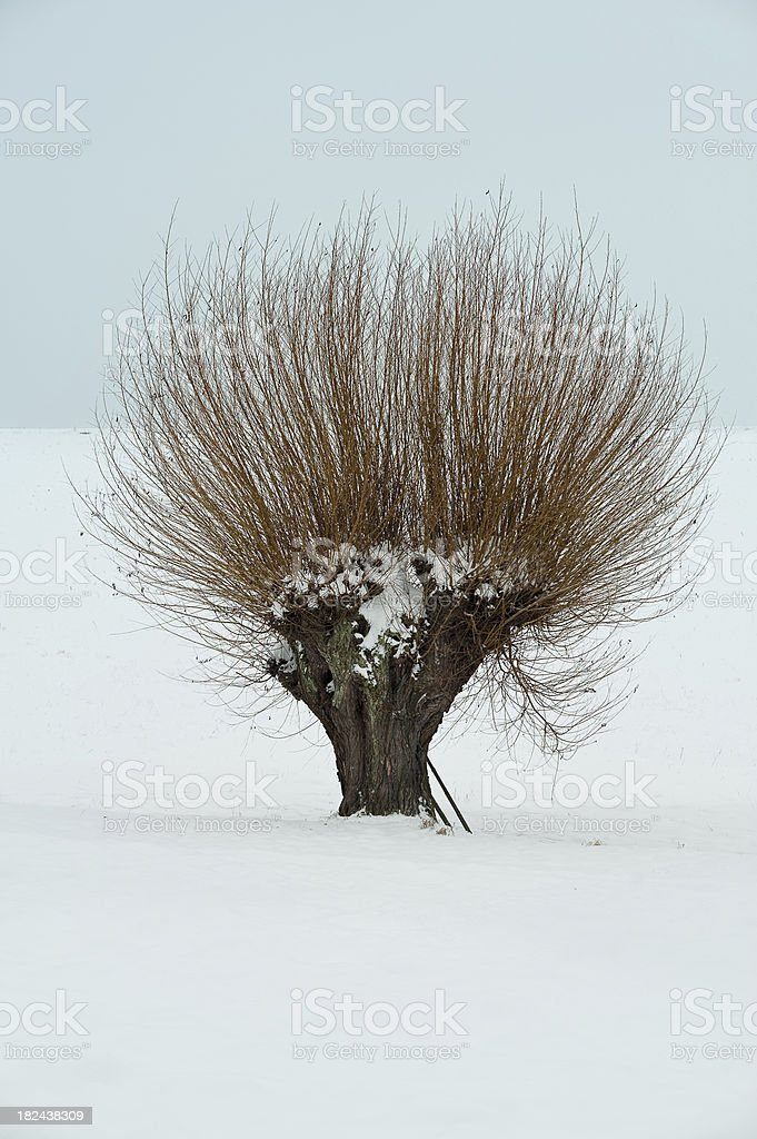 willow tree in winter stock photo