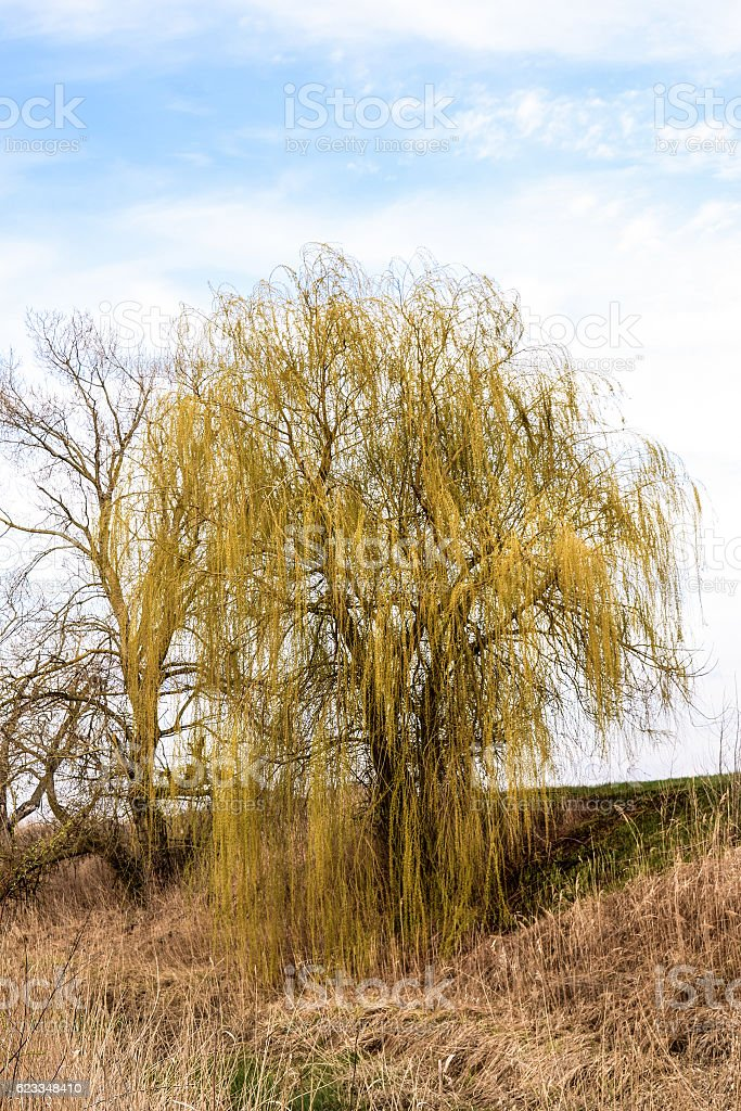Willow tree on the banks of the river stock photo