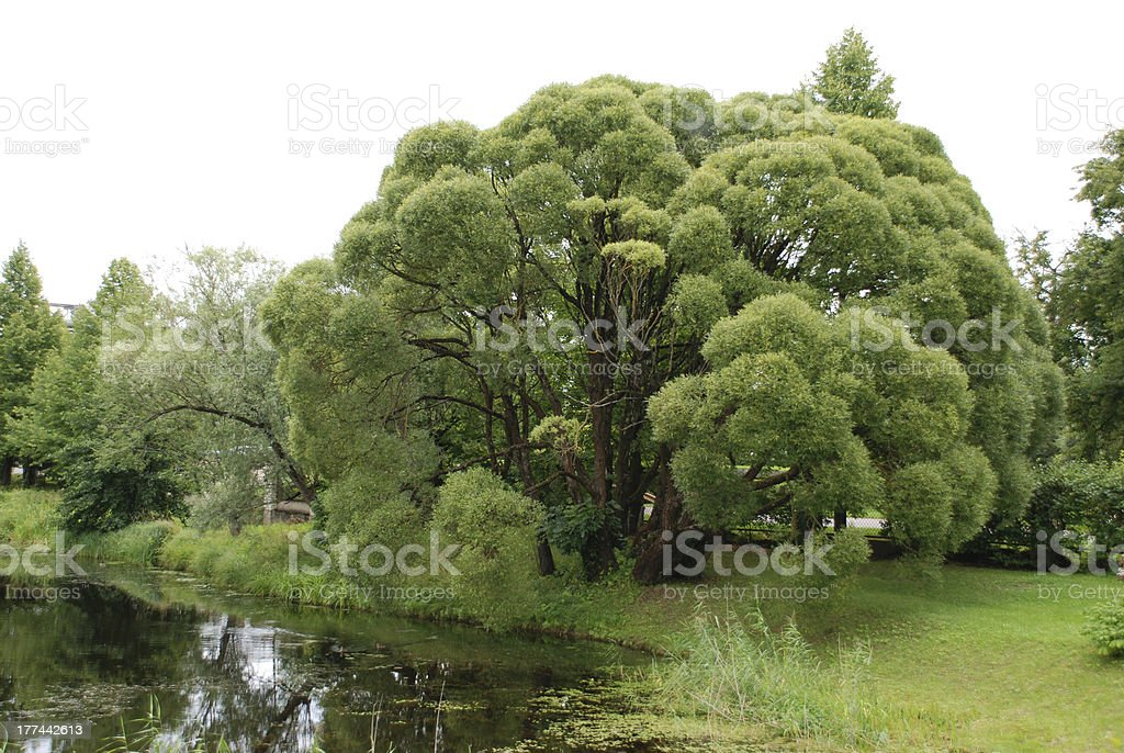 Willow Tree royalty-free stock photo