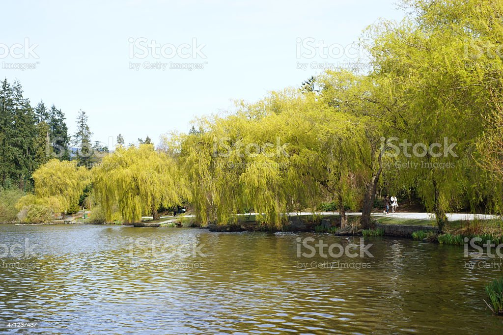 Willow Trees By A Lake 2 stock photo