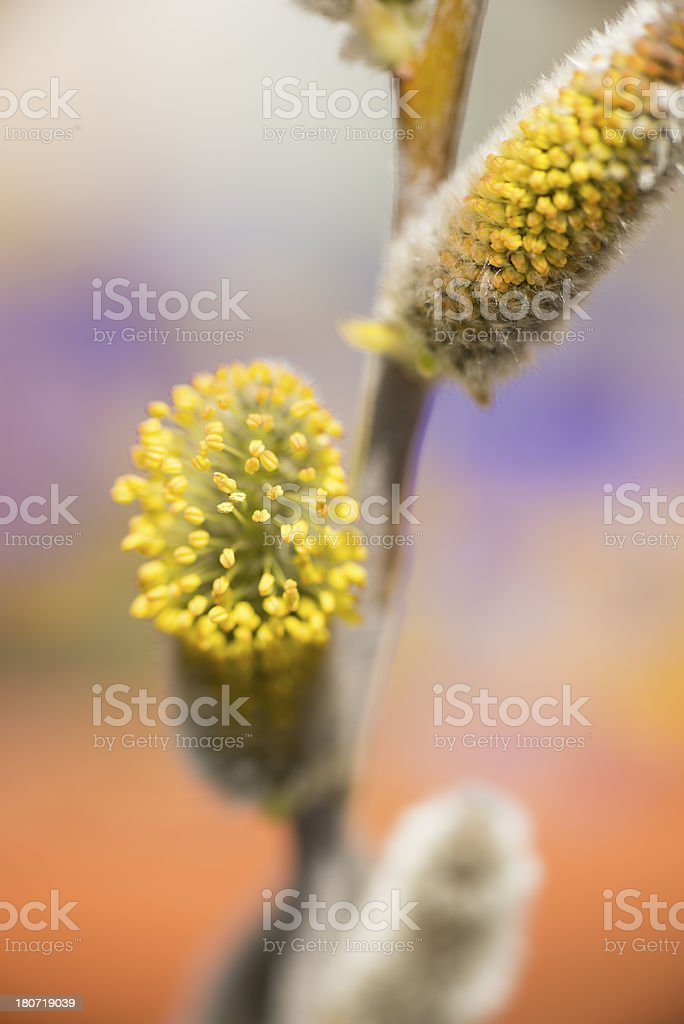 Willow Trees Come to Life royalty-free stock photo