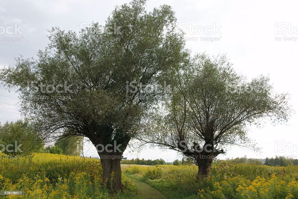 willow trees on polder near a river stock photo
