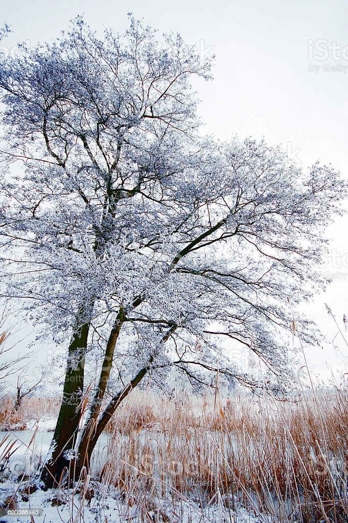 Willow trees with rime frost at Winter time. Havelland stock photo