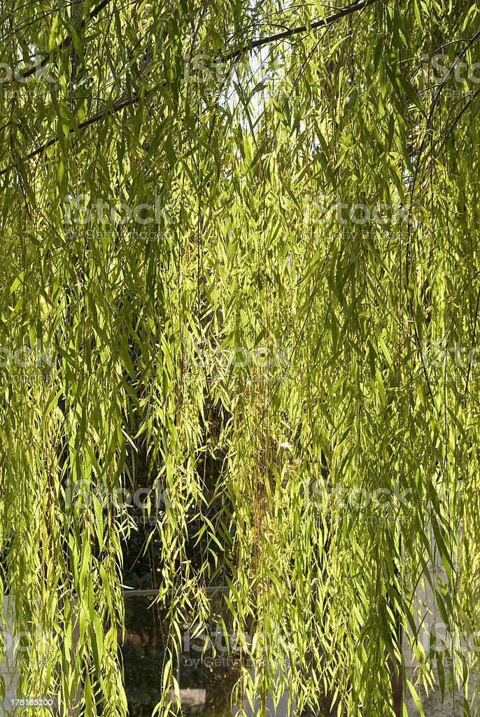Willow Vertical royalty-free stock photo