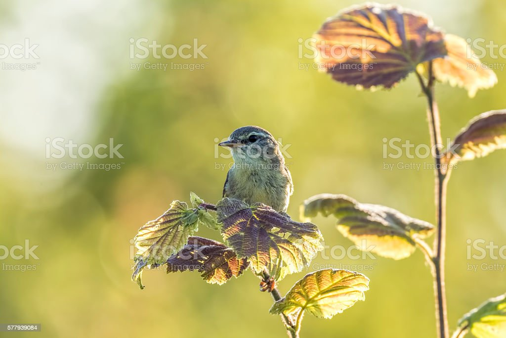 Willow warbler bird, Phylloscopus trochilus stock photo