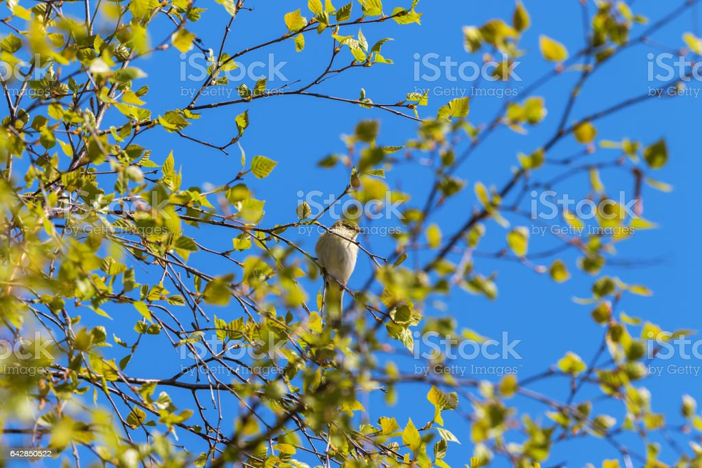 Willow Warbler on a branch in spring time stock photo