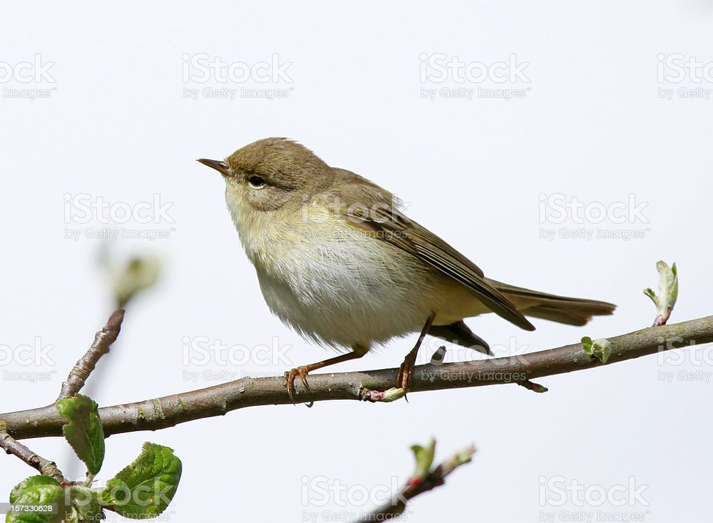 Willow Warbler (Phylloscopus trochilus) stock photo