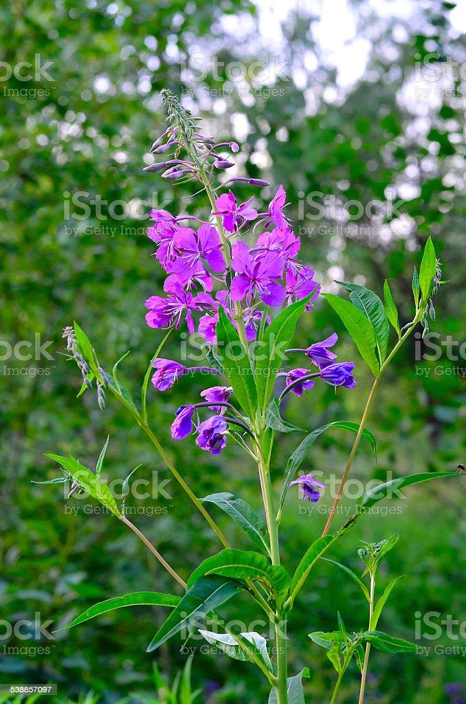 Willow-herb (Ivan-tea) stock photo