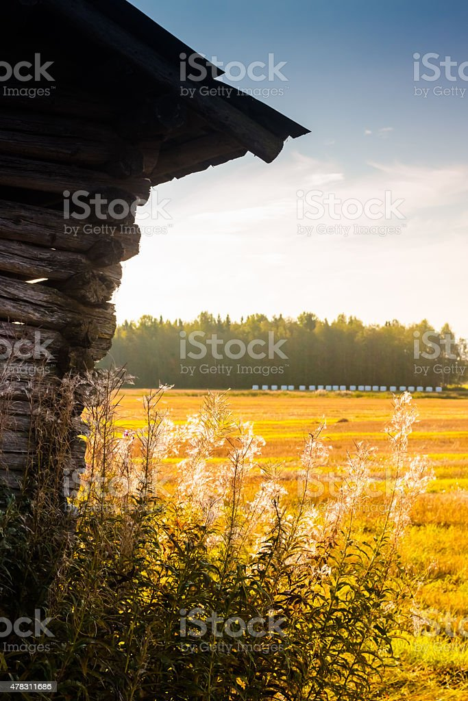 Willowherbs by the barn house stock photo