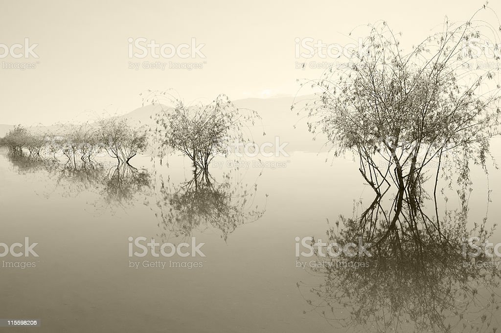 Willows Admiring Their Beauty in Muddy Water royalty-free stock photo