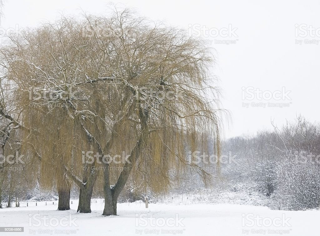 Willows in winter royalty-free stock photo