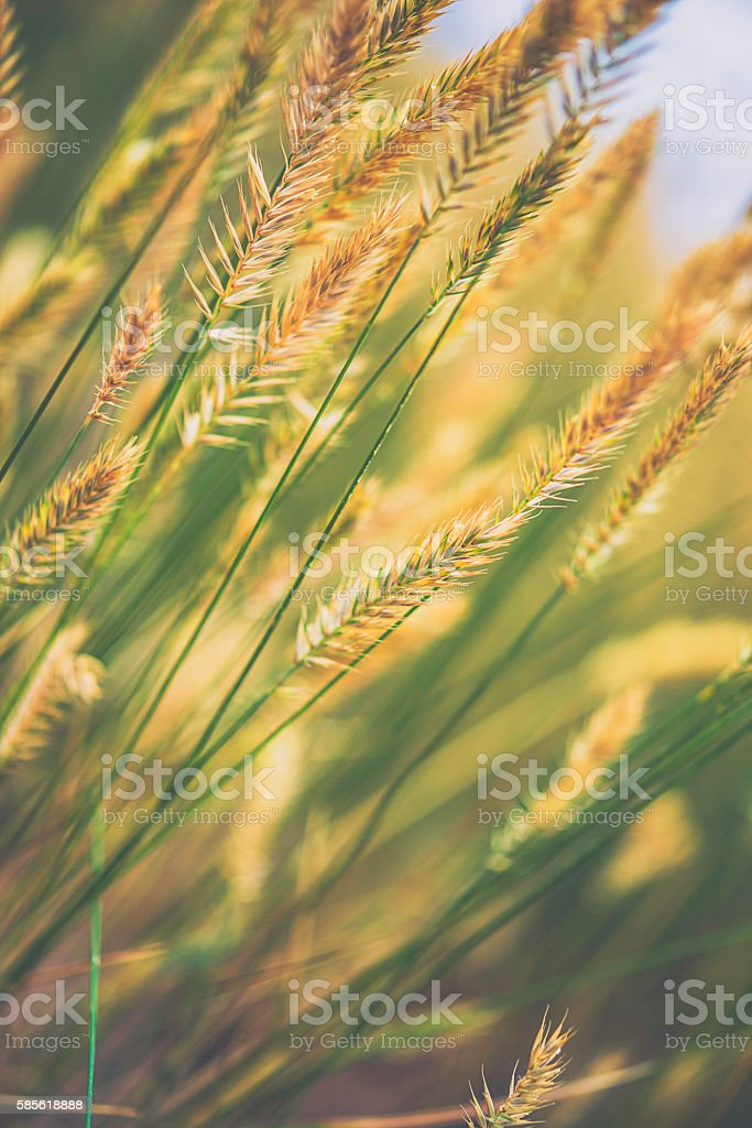 Willowy grasses growing wild in summer sunlight stock photo