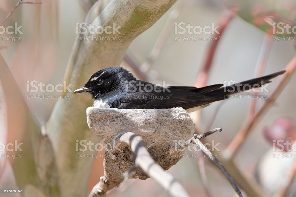Willy wagtail and nest stock photo