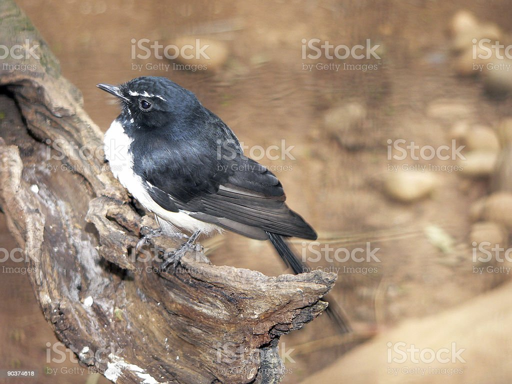 willy wagtail royalty-free stock photo