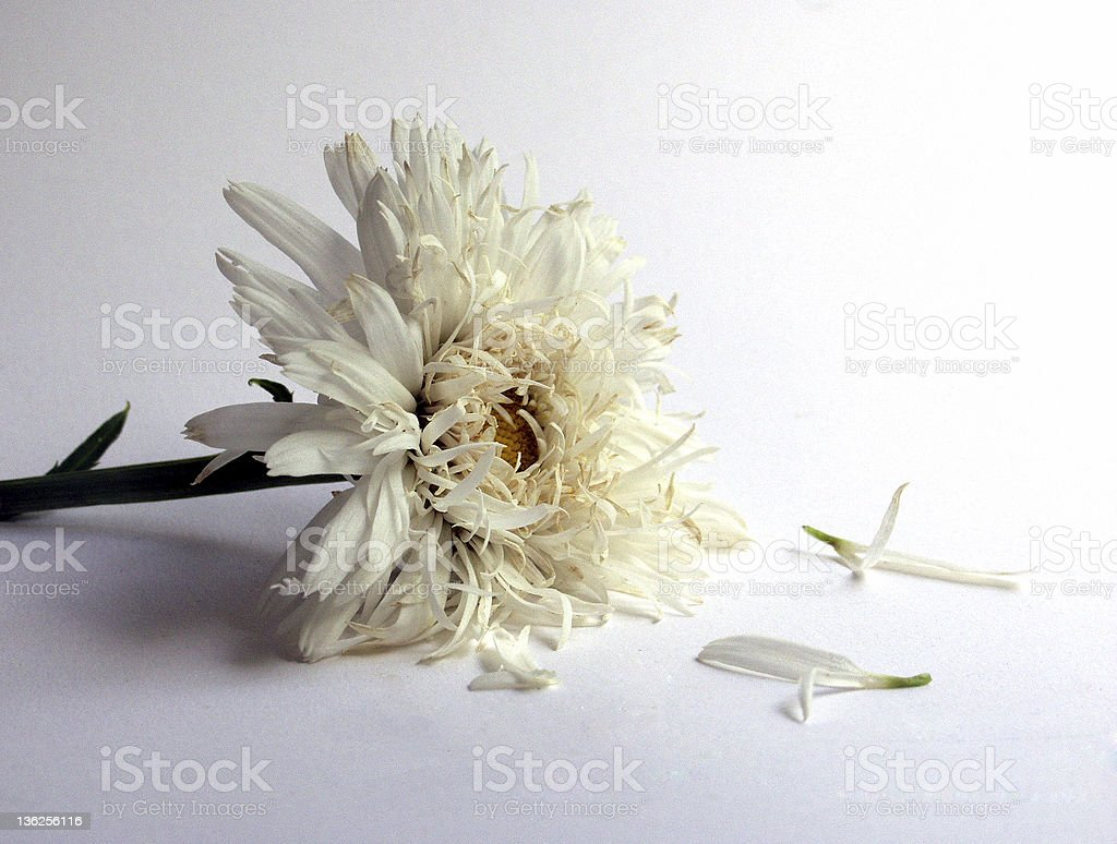 wilted flower royalty-free stock photo