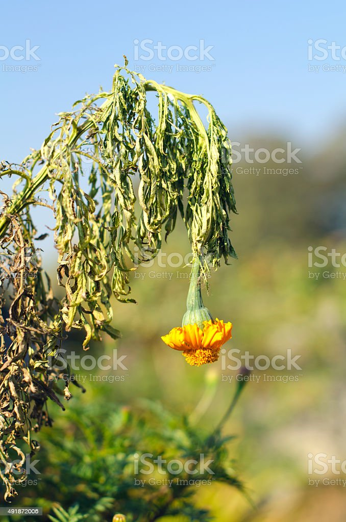 Wilted flower stock photo
