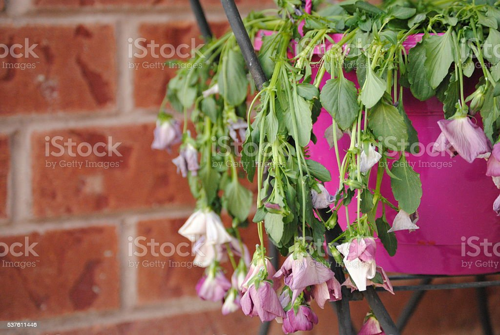 Wilted flowers in purple pot with red brick background stock photo