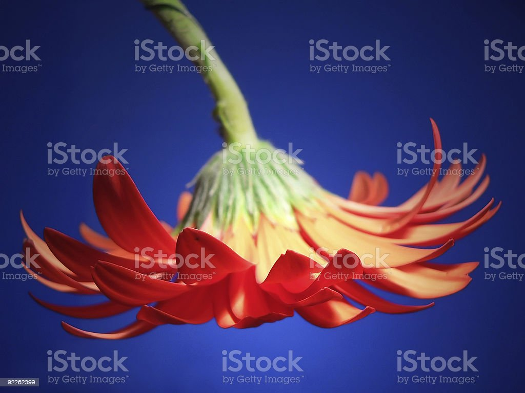 wilted gerber stock photo