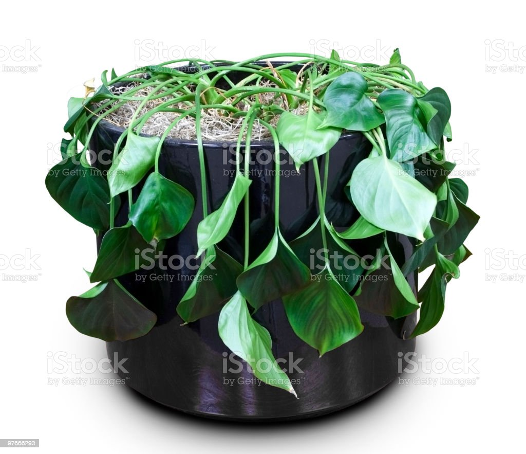 Wilted House Plant royalty-free stock photo