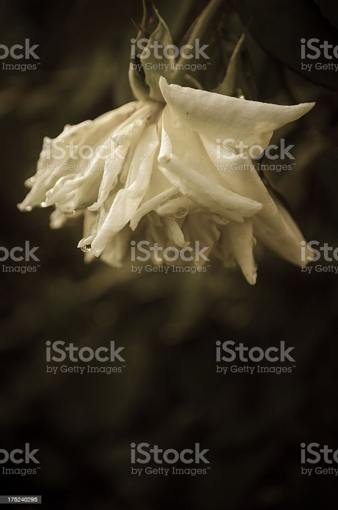 wilted old rose in sepia royalty-free stock photo