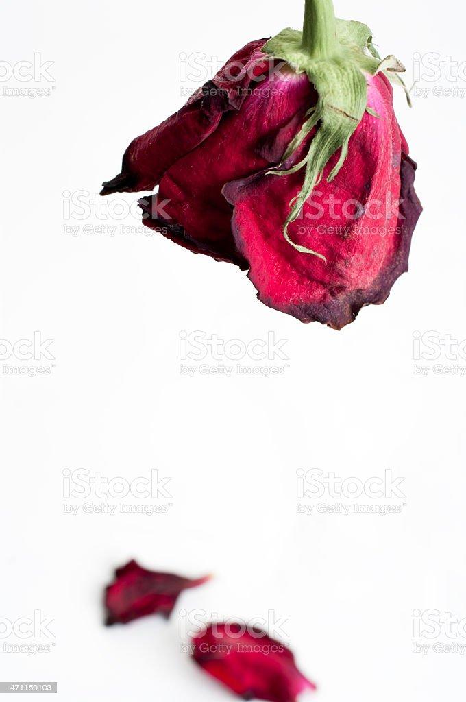 Wilted rose, fallen petals stock photo