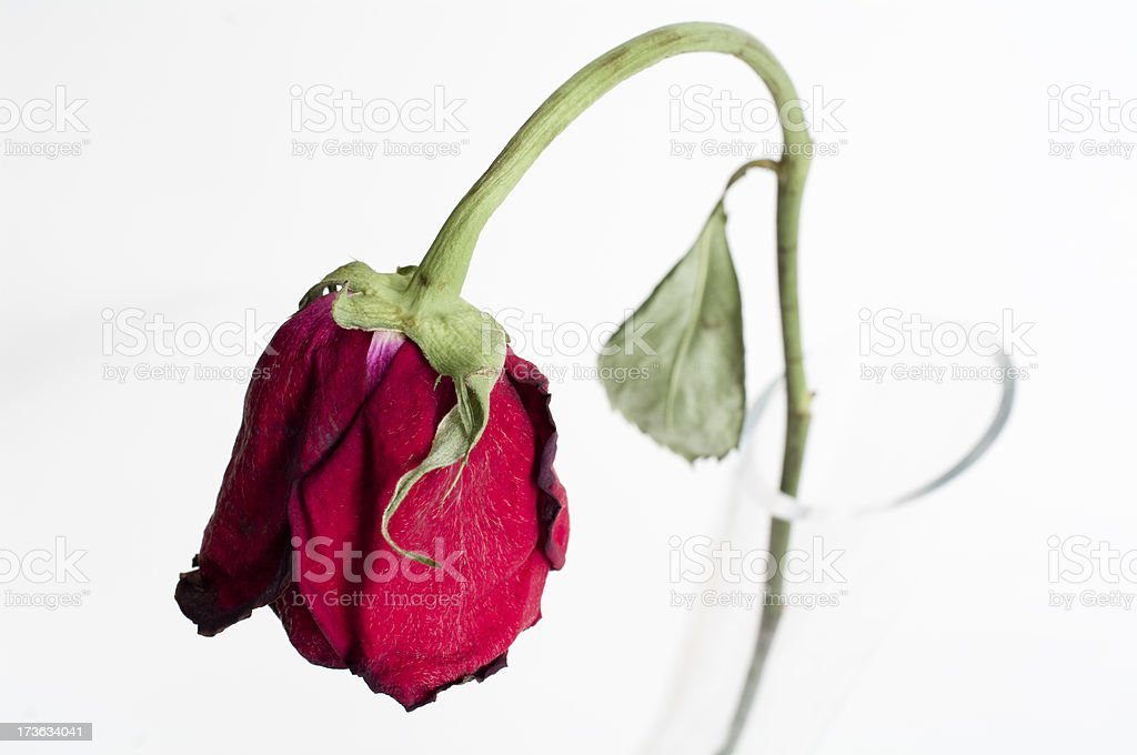 Wilted rose royalty-free stock photo