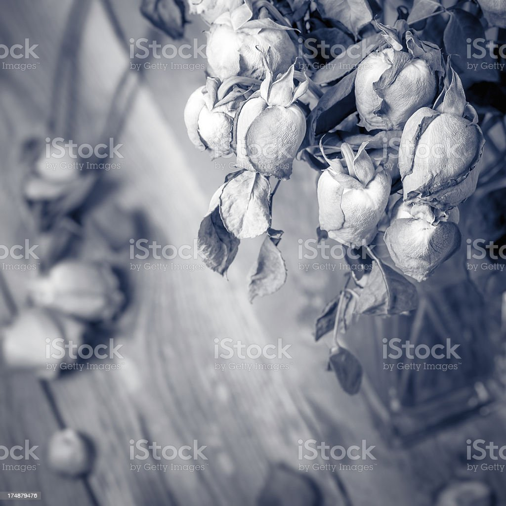 Wilted roses stock photo