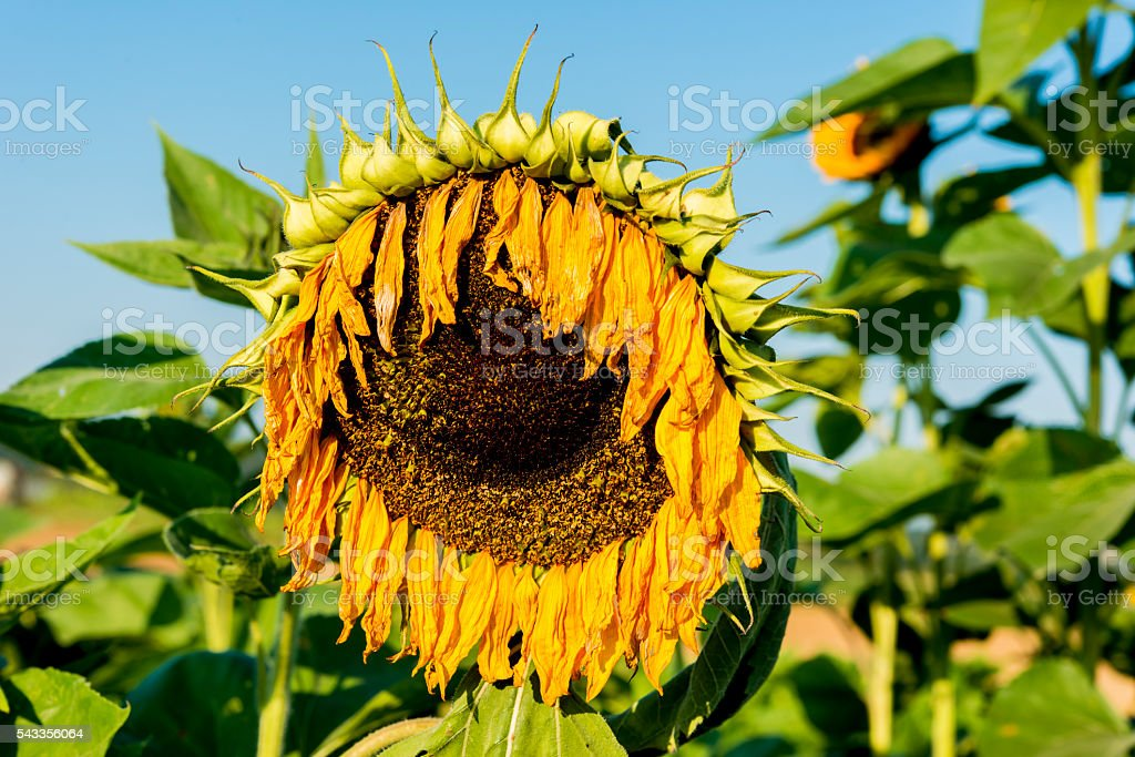 Wilted sunflower blossom hanging orange-golden leaves sad decay stock photo