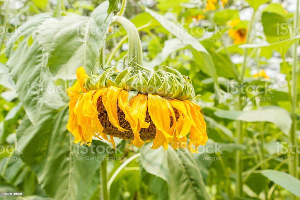 Wilted sunflower stock photo