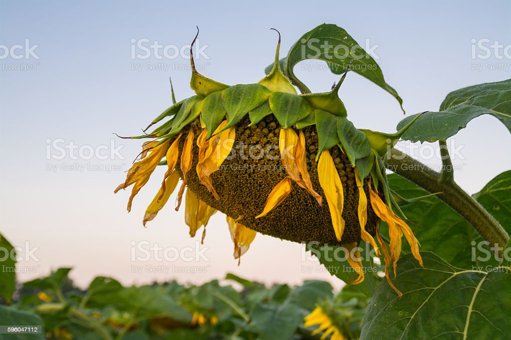 Wilted sunflower plants in the early morning. stock photo