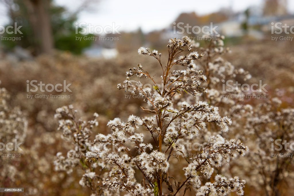 Wilted thistle in November stock photo