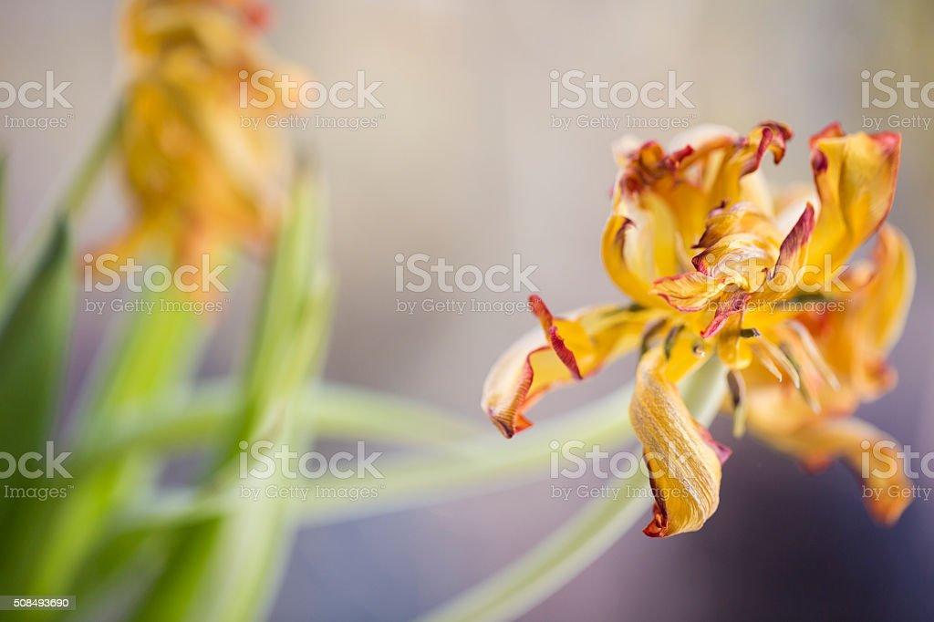 Wilted Tulip stock photo