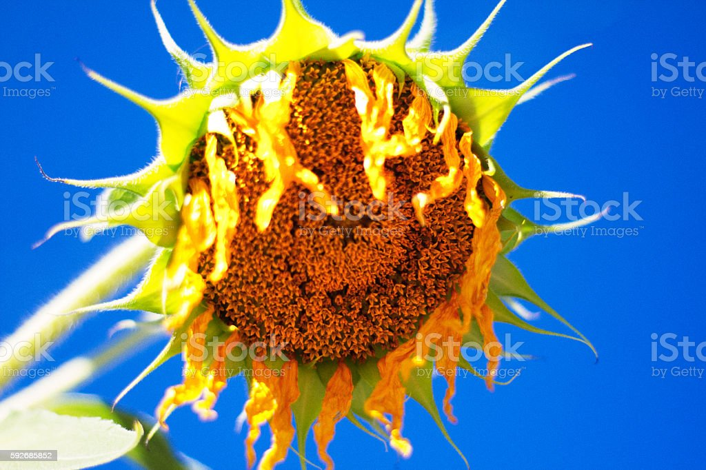 Wilting Sunflower Backdropped by Brilliant Blue Sky stock photo