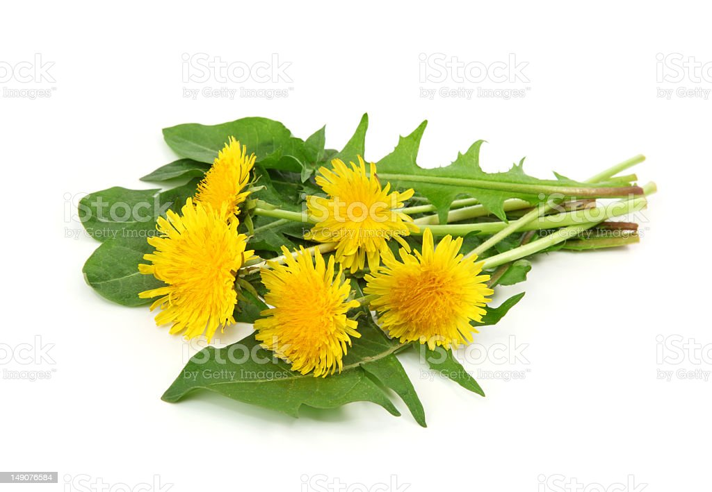 Wilting yellow dandelions with green leaves royalty-free stock photo