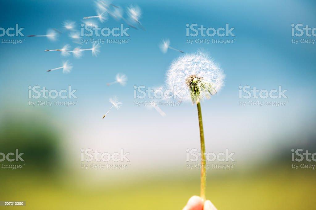 Wind Blowing Dandelion stock photo
