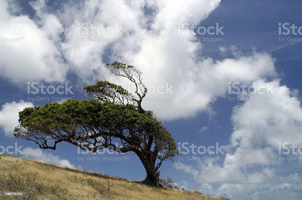 Wind Blown Tree stock photo