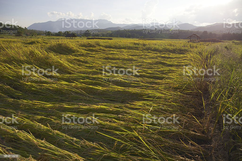 I wind down rice. royalty-free stock photo