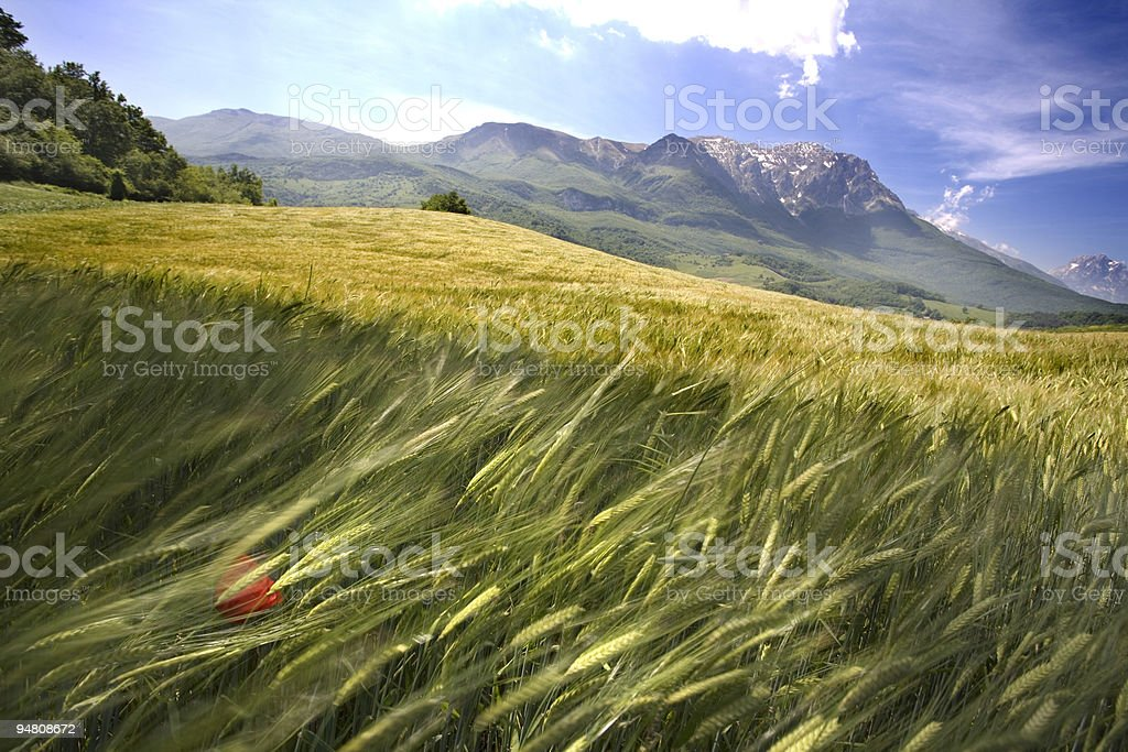 wind in the fields stock photo
