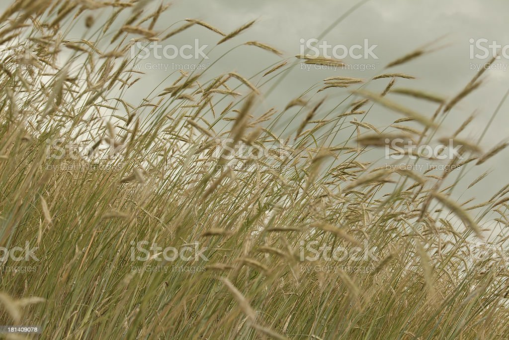 wind in the wheat fields royalty-free stock photo