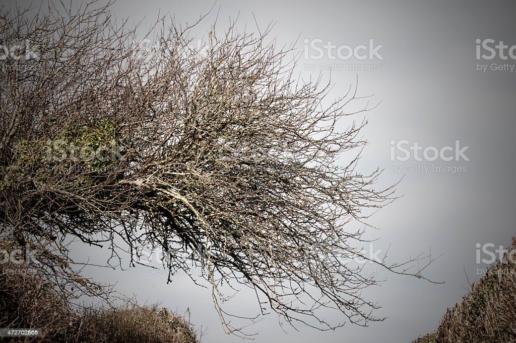 Wind Shaped Tree stock photo
