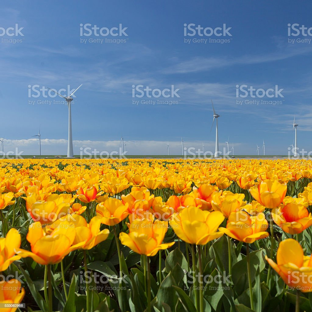 wind turbines against blue sky and orange tulips in holland stock photo